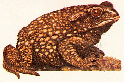 The toad has dry and pimply skin, which differentiates it from the frog, which has smooth and moist skin. Toads eat insects; large toads also eat mice. Some toads have poison glands on their shoulders and limbs. The biggest toad is the Neotropical toad which is nine inches long.