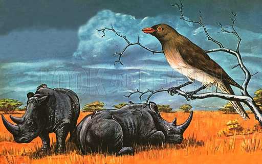 The picture shows a great partnership between a bird called the Oxpecker and large African animals. The oxpecker bird in this picture feeds on the insects that inhabit the hides of rhinoceroses. Oxpeckers are members of the starling family. They also warn rhinoceroses of danger by pecking their heads until they flee.