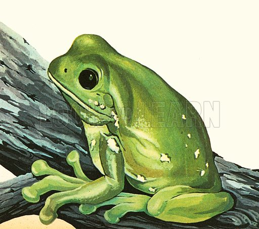 The animal in the picture is often kept as a pet and can be trained to eat out of its owner's hand. Green Tree Frogs are native to Australia. They can live as long as 16 years.