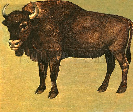 Bison are not the same as buffalo. Correctly, only the Asian Water Buffalo and the African Buffalo should be called buffalo.