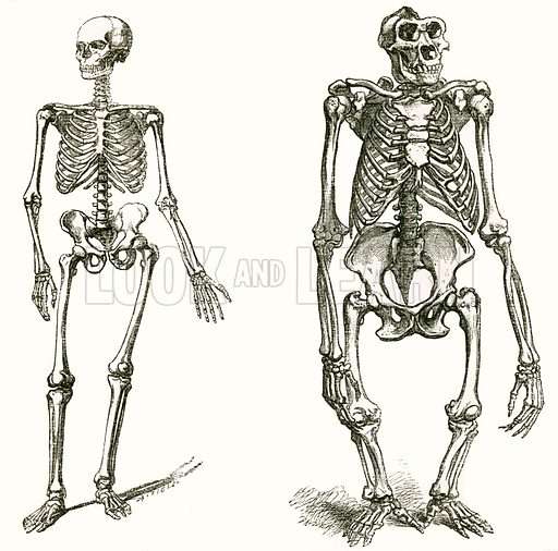 Skeletons of a man and a gorilla. Engraving from JG Wood's Illustrated Natural History (c 1850).