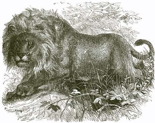 Lion. Engraving from JG Wood's Illustrated Natural History (c 1850).