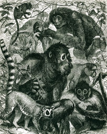 Quarumana: The monkey tribe. Engraving from JG Wood's Illustrated Natural History (c 1850).