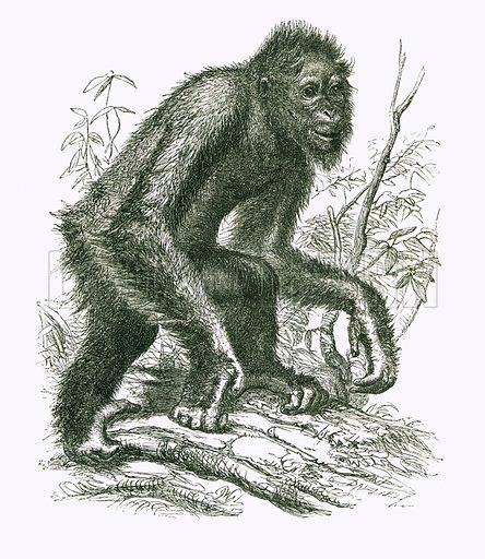 The Orang-outan. Engraving from JG Wood's Illustrated Natural History (c 1850).