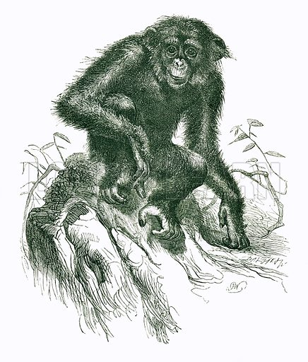 The Chimpansee. Engraving from JG Wood's Illustrated Natural History (c 1850).