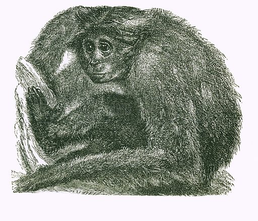 The Siamang. Engraving from JG Wood's Illustrated Natural History (c 1850).
