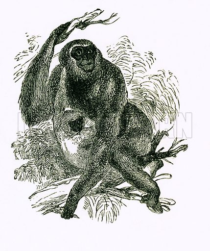Agile Gibbon. Engraving from JG Wood's Illustrated Natural History (c 1850).