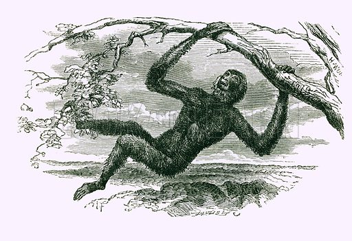 The Lar Gibbon. Engraving from JG Wood's Illustrated Natural History (c 1850).