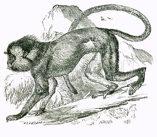Simpai. Engraving from JG Wood's Illustrated Natural History (c 1850).