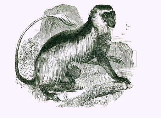 Guereza. Engraving from JG Wood's Illustrated Natural History (c 1850).