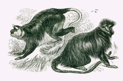 Ursine Colobus and Black Colobus. Engraving from JG Wood's Illustrated Natural History (c 1850).