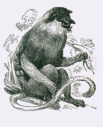 Kahau. Engraving from JG Wood's Illustrated Natural History (c 1850).