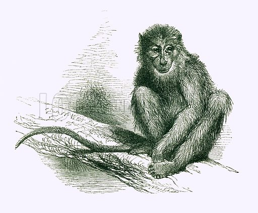 The Sooty Mangabey. Engraving from JG Wood's Illustrated Natural History (c 1850).