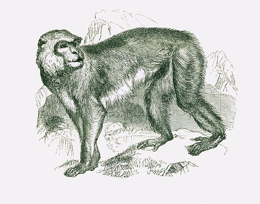 Magot: Barbary ape. Engraving from JG Wood's Illustrated Natural History (c 1850).