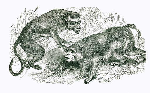Bonnet Macaque and Rhesus. Engraving from JG Wood's Illustrated Natural History (c 1850).