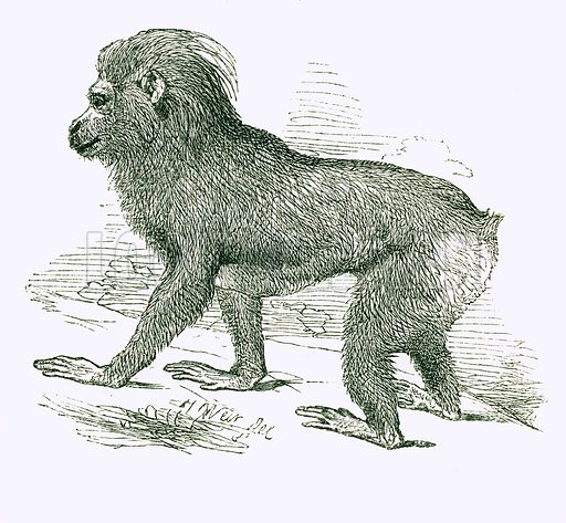 Black Macaque. Engraving from JG Wood's Illustrated Natural History (c 1850).