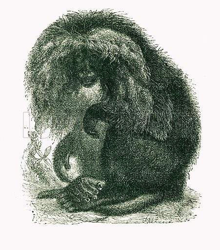Wanderoo. Engraving from JG Wood's Illustrated Natural History (c 1850).