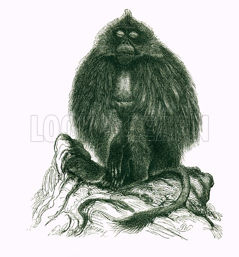 Gelada. Engraving from JG Wood's Illustrated Natural History (c 1850).