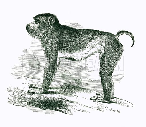 Pig tailed Macaque. Engraving from JG Wood's Illustrated Natural History (c 1850).