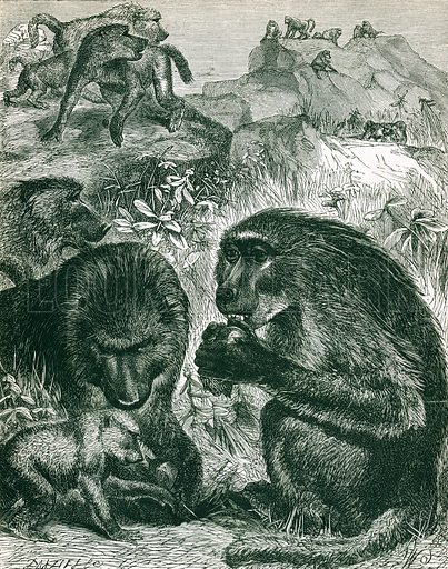 Grroup of Chacmas. Engraving from JG Wood's Illustrated Natural History (c 1850).
