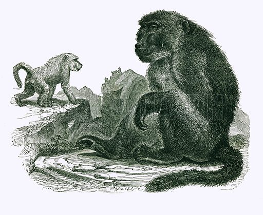 The Chacma. Engraving from JG Wood's Illustrated Natural History (c 1850).