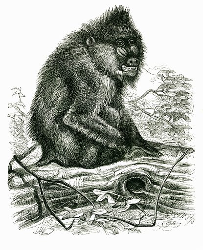 The Mandrill. Engraving from JG Wood's Illustrated Natural History (c 1850).