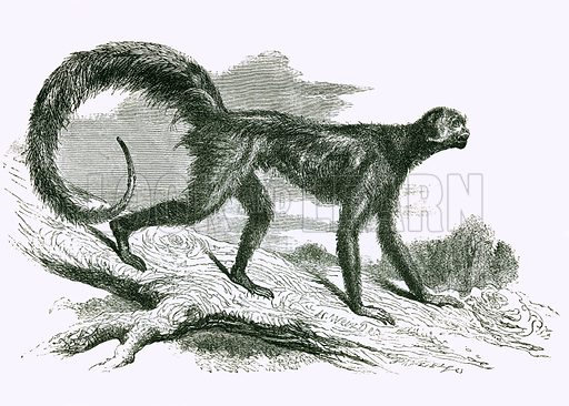 Chameck. Engraving from JG Wood's Illustrated Natural History (c 1850).