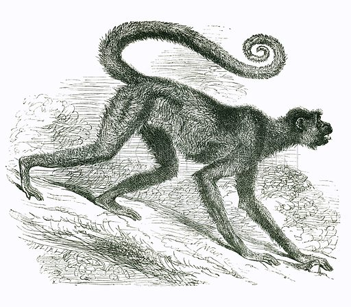 Coaita. Engraving from JG Wood's Illustrated Natural History (c 1850).