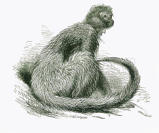 Marimonda. Engraving from JG Wood's Illustrated Natural History (c 1850).