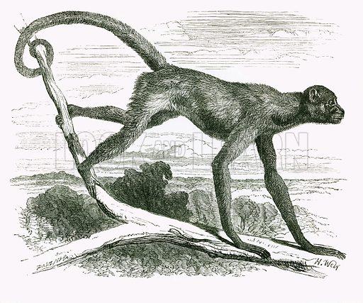 Miriki. Engraving from JG Wood's Illustrated Natural History (c 1850).