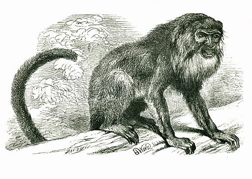 Araguato: Ursine Howler. Engraving from JG Wood's Illustrated Natural History (c 1850).