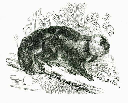 Black Yarke. Engraving from JG Wood's Illustrated Natural History (c 1850).