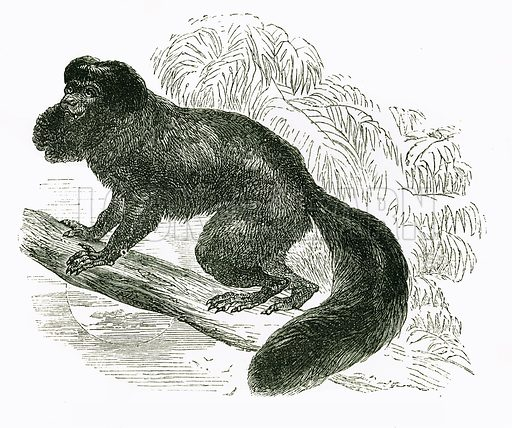 Cuxio: bearded Saki. Engraving from JG Wood's Illustrated Natural History (c 1850).