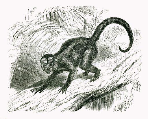 Sai. Engraving from JG Wood's Illustrated Natural History (c 1850).