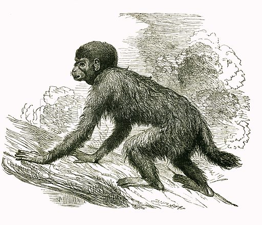Cacajao. Engraving from JG Wood's Illustrated Natural History (c 1850).