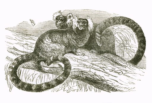 Marmoset. Engraving from JG Wood's Illustrated Natural History (c 1850).