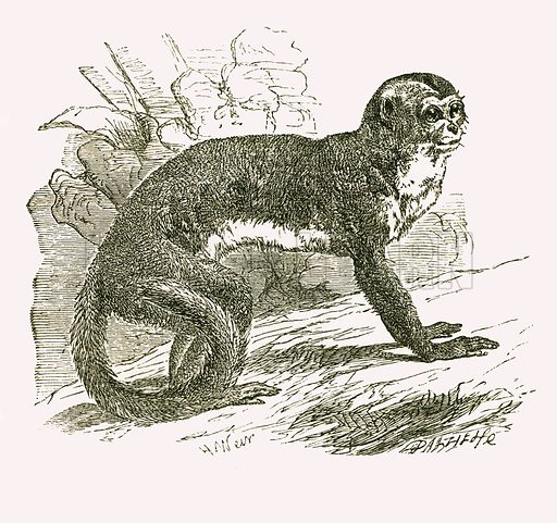 Douroucouli. Engraving from JG Wood's Illustrated Natural History (c 1850).