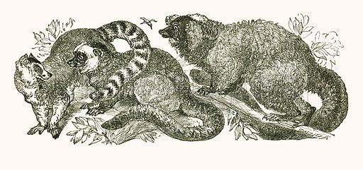 Ring tailed Lemur, white fronted Lemur and red Lemur. Engraving from JG Wood's Illustrated Natural History (c 1850).