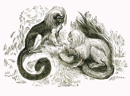 Pinche and Marikina. Engraving from JG Wood's Illustrated Natural History (c 1850).