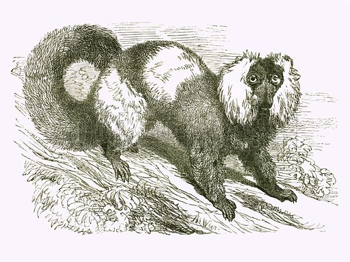 Ruffed Lemur. Engraving from JG Wood's Illustrated Natural History (c 1850).