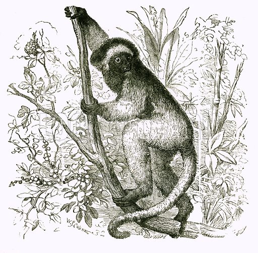 Propithece: Diadem Lemur. Engraving from JG Wood's Illustrated Natural History (c 1850).