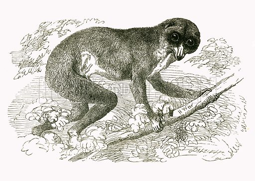 Slender Loris. Engraving from JG Wood's Illustrated Natural History (c 1850).