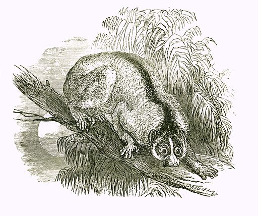 Kukang: Slow paced Loris. Engraving from JG Wood's Illustrated Natural History (c 1850).