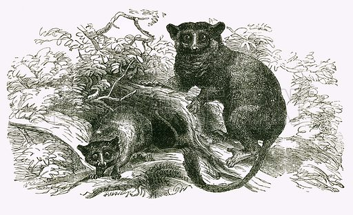 Little Galago and Moholi. Engraving from JG Wood's Illustrated Natural History (c 1850).