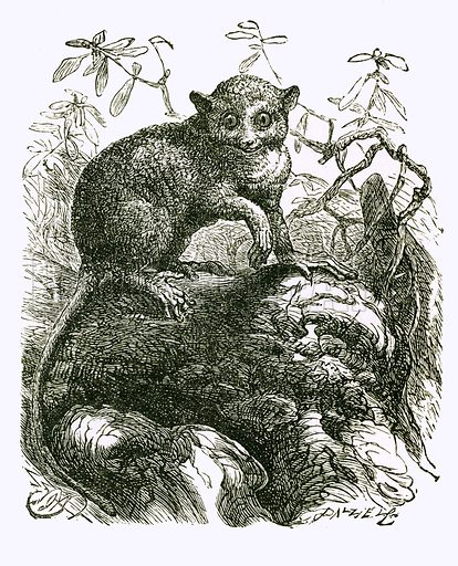 Tarsier. Engraving from JG Wood's Illustrated Natural History (c 1850).