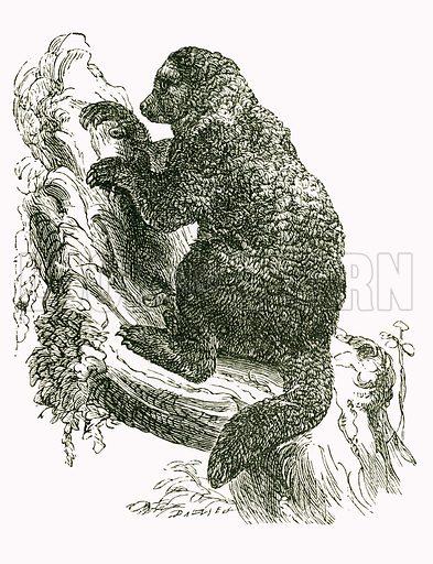Avahi: Indri. Engraving from JG Wood's Illustrated Natural History (c 1850).