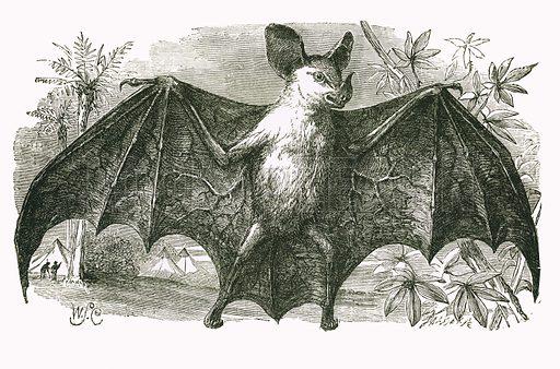 Vampire Bat. Engraving from JG Wood's Illustrated Natural History (c 1850).