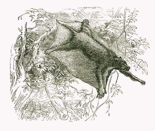Colugo. Engraving from JG Wood's Illustrated Natural History (c 1850).