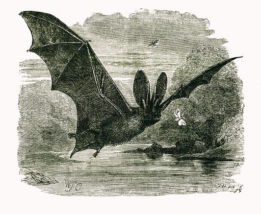 Long eared Bat. Engraving from JG Wood's Illustrated Natural History (c 1850).