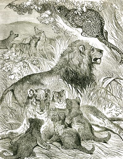 Lion family. Engraving from JG Wood's Illustrated Natural History (c 1850).